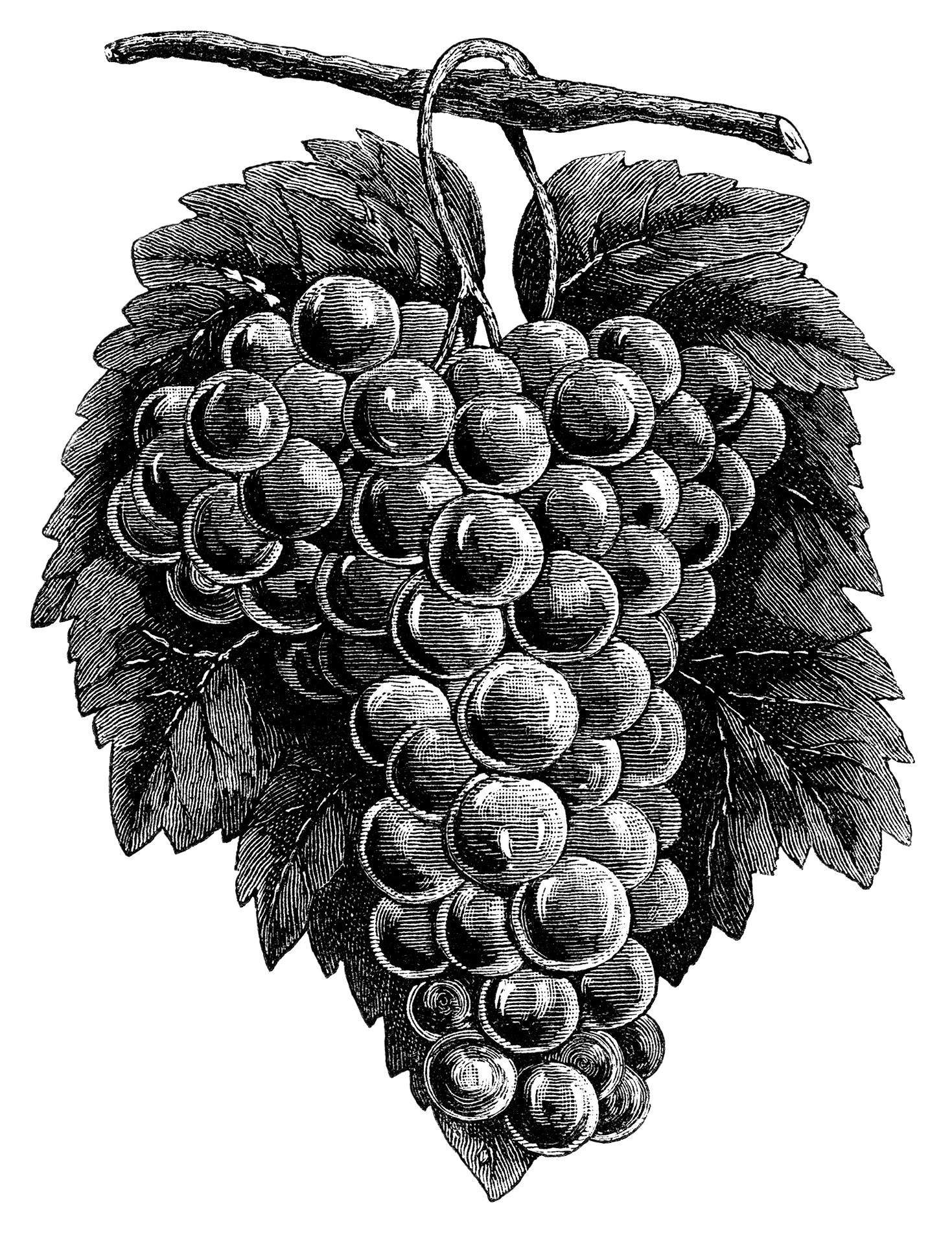 cluster grapes clipart, black and white graphics, vintage food clip art, printable fruit image, grapes branch garden illustration