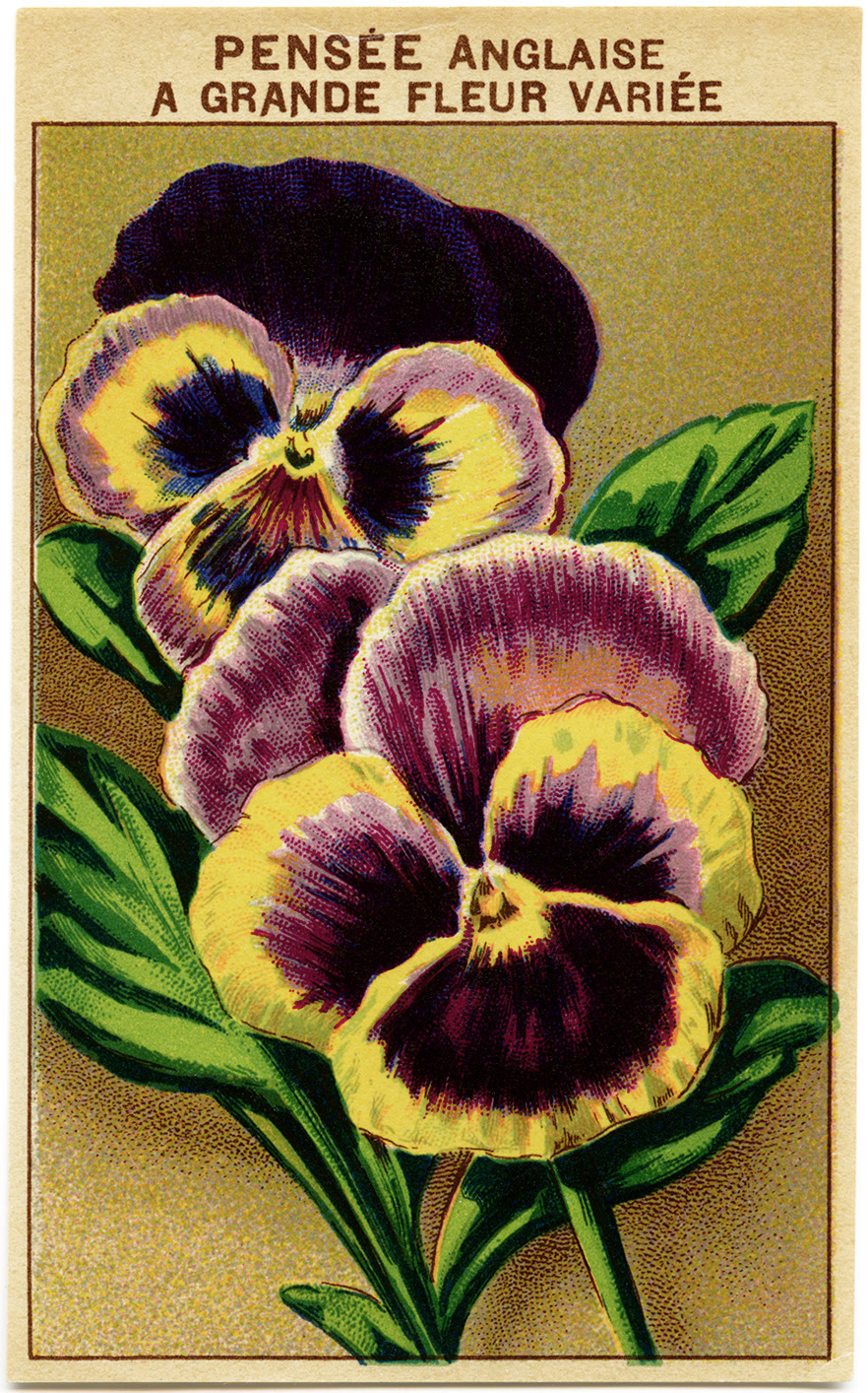 French seed packet, old fashioned seed package, vintage garden graphics, English pansy image, pensee anglaise, vintage pansy clip art