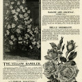 vintage garden clipart, black and white flower illustration, roses clip art, printable catalog page, peter Henderson, victorian graphics free