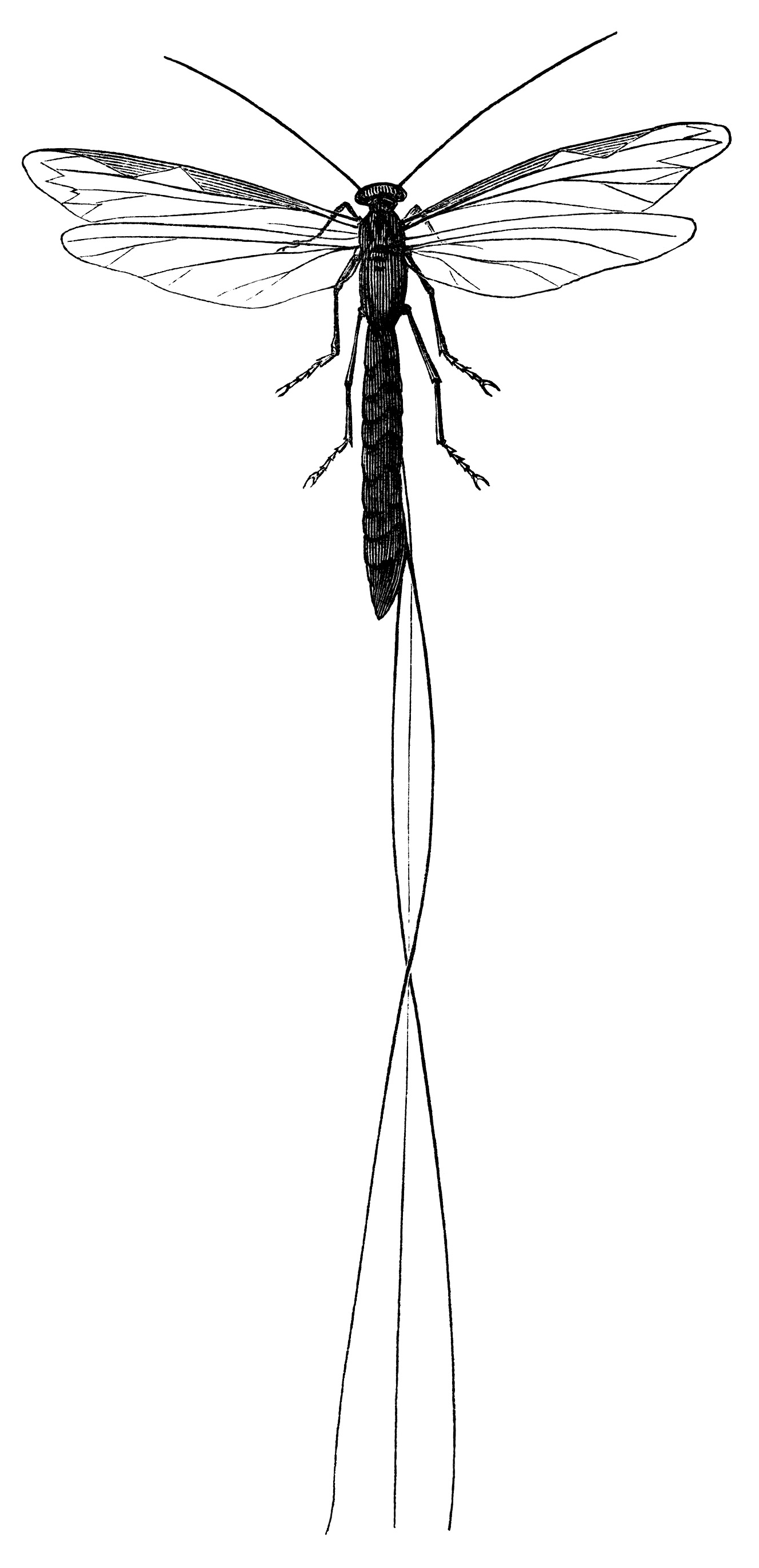 long tailed ichneumon fly, vintage dragonfly clipart, black and white clip art, membrane winged insect illustration, fly graphics free