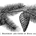 Scots tree pine cone illustration, vintage botanical engraving, pine cones on branch, black and white clip art, cone pinus sylvestris
