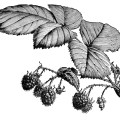 vintage raspberry clip art, old raspberry engraving, black and white clipart, botanical illustration raspberry, ripe raspberries on branch image garden printable