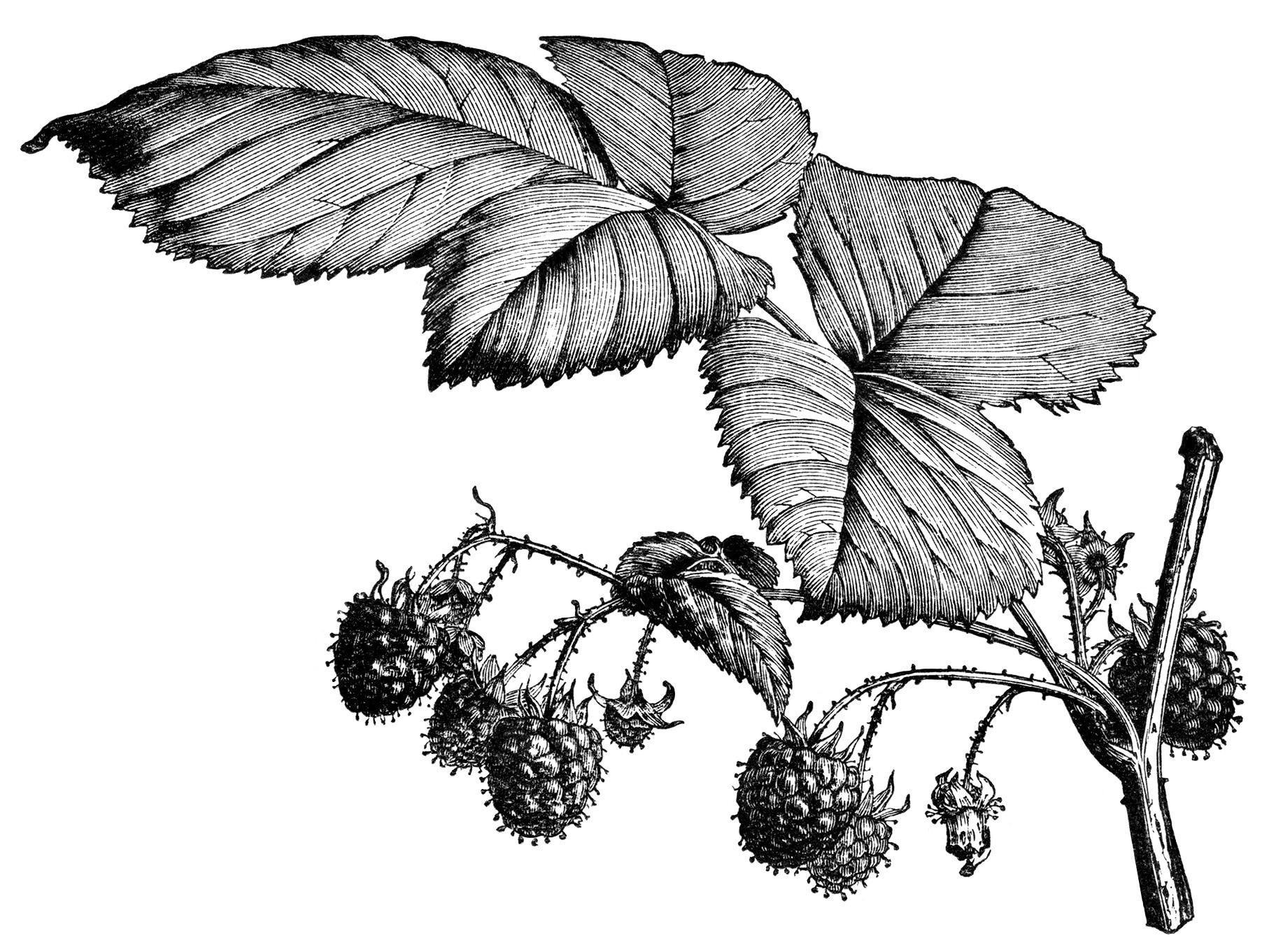vintage raspberry clip art, old raspberry engraving, black and white clipart, botanical illustration raspberry, ripe raspberries on branch image garden printable