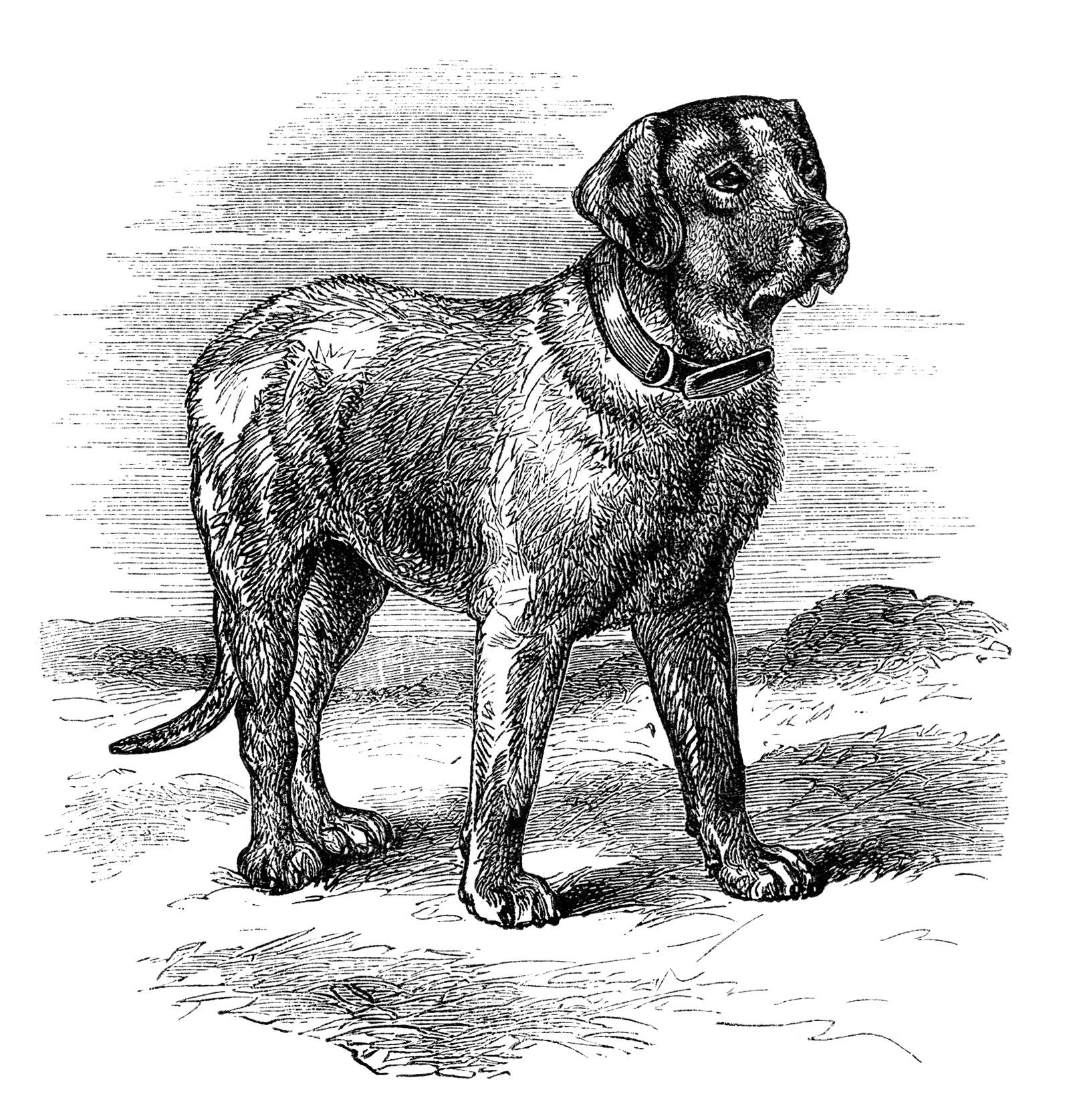 English Mastiff illustration, black and white clip art, vintage animal clipart, vintage dog image, mastiff dog sketch