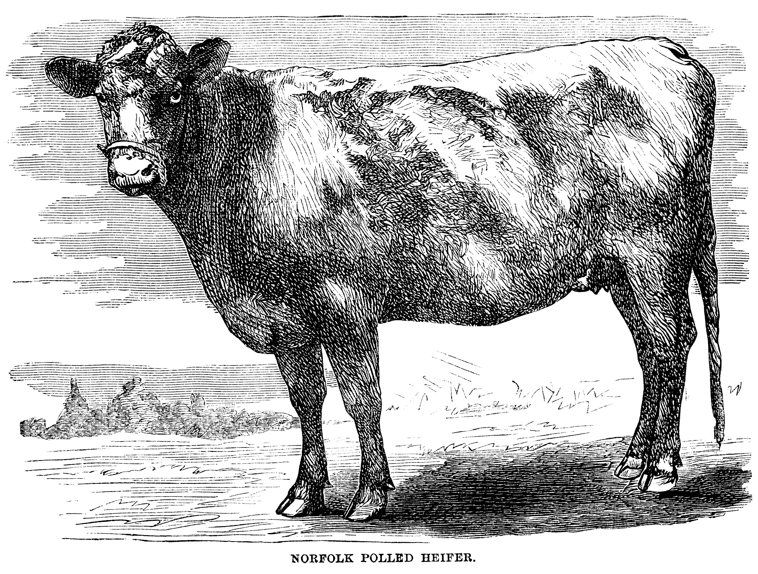 Vintage Cow Engraving Free Clip Art