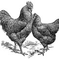 vintage rooster clip art,vintage chicken illustration,black and white graphics free,farm animal image,barred plymouth rocks