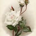 rosa innocente pirola, vintage rose lithograph, flower botanical illustration, white rose image, book plate rose