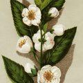 Free vintage clip art tea plant botanical image