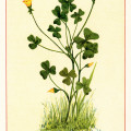 yellow wood sorrel, oxalis stricta, vintage botanical illustration, yellow flower clipart, vintage floral image, printable flower graphics