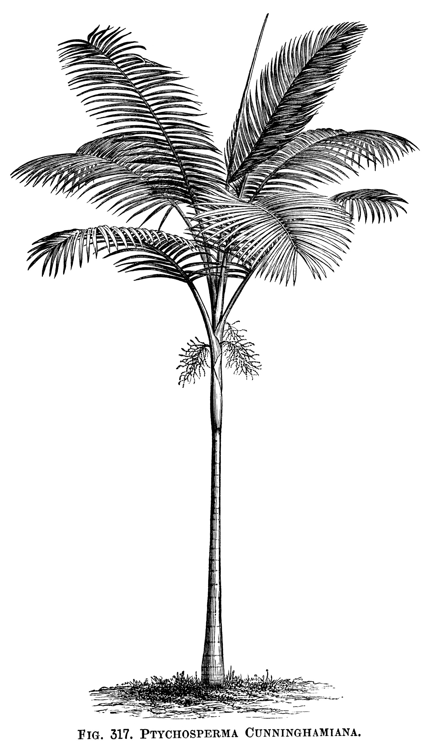 vintage palm tree clip art, black and white graphics, tree engraving, botanical palm tree illustration, tropical tree image, aaa Ptychosperma Cunninghamiana