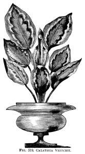 Calathea Veitchii, black and white graphics, vintage botanical illustration, potted plant clip art