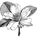Camellia oleifera, camellia flower illustration, black and white clip art, vintage flower clipart, floral graphics free