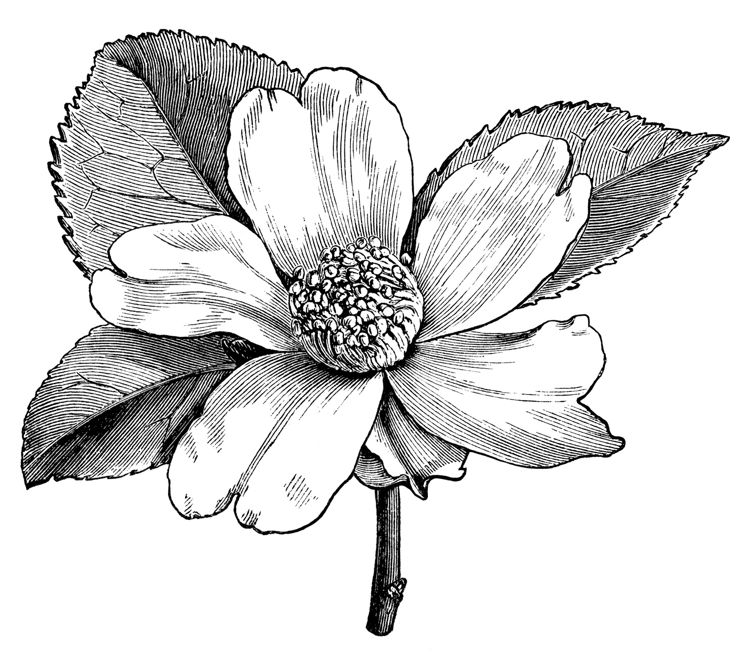 Camellia Oleifera Flower Illustration Black And White Clip Art Vintage Clipart