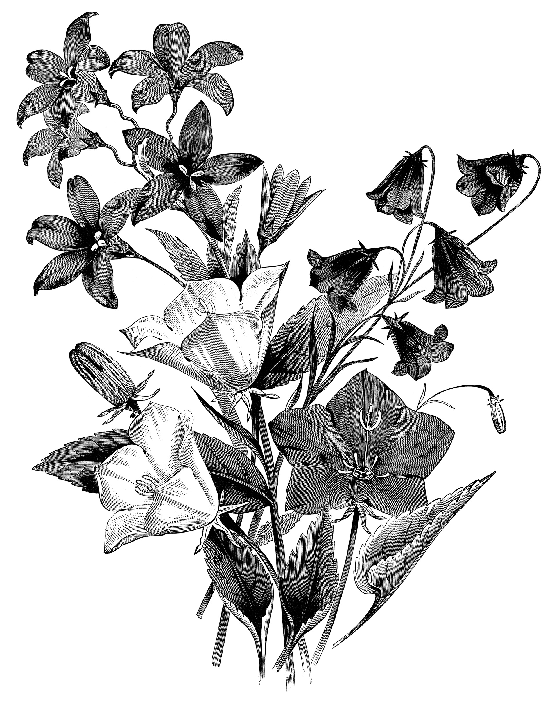 Campanula flower, vintage botanical engraving, black and white clip art, floral botanical graphics, bellflower illustration