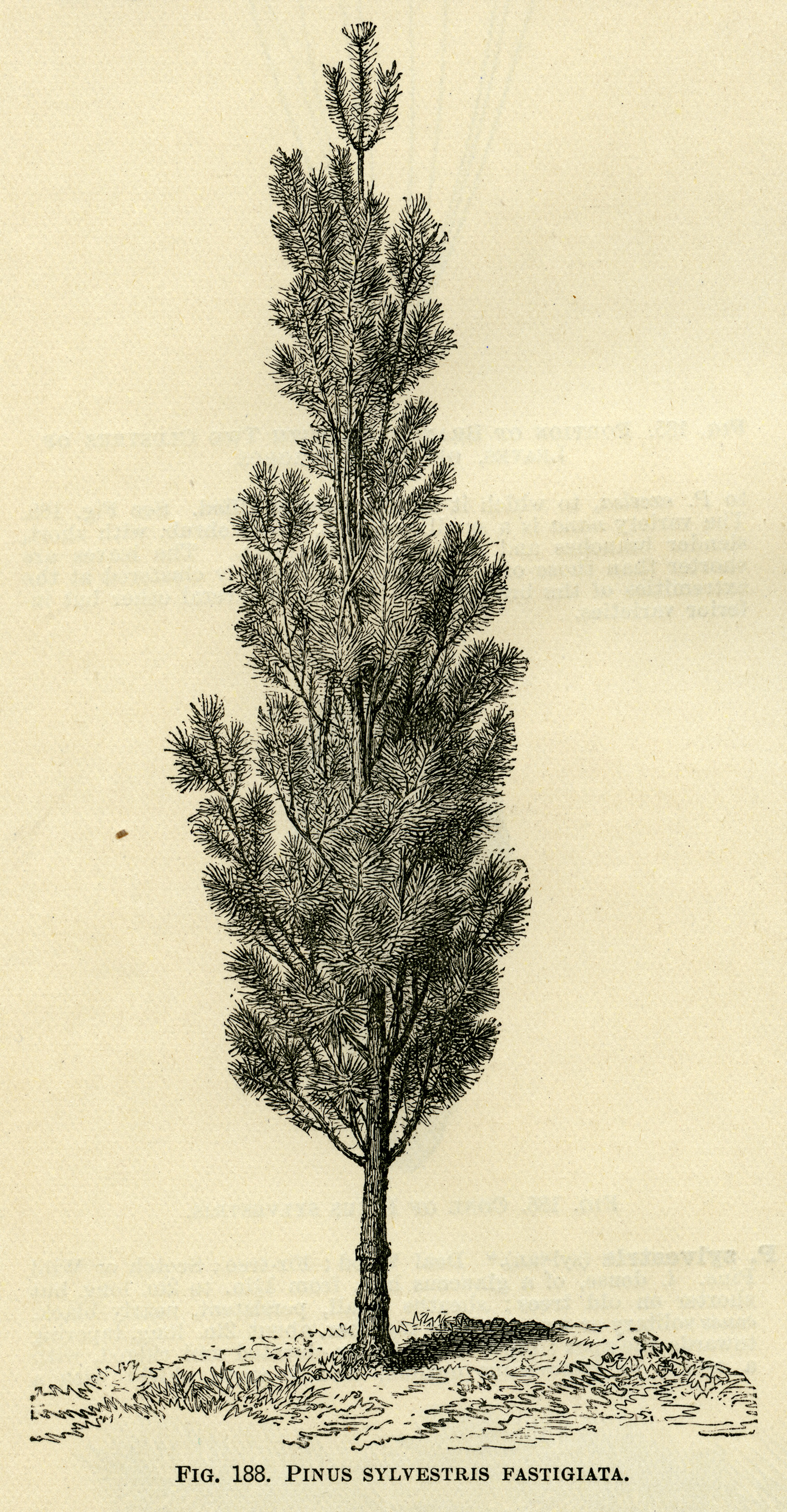 Black And White Graphics Botanical Pine Tree Illustration Vintage Clip Art Pinus
