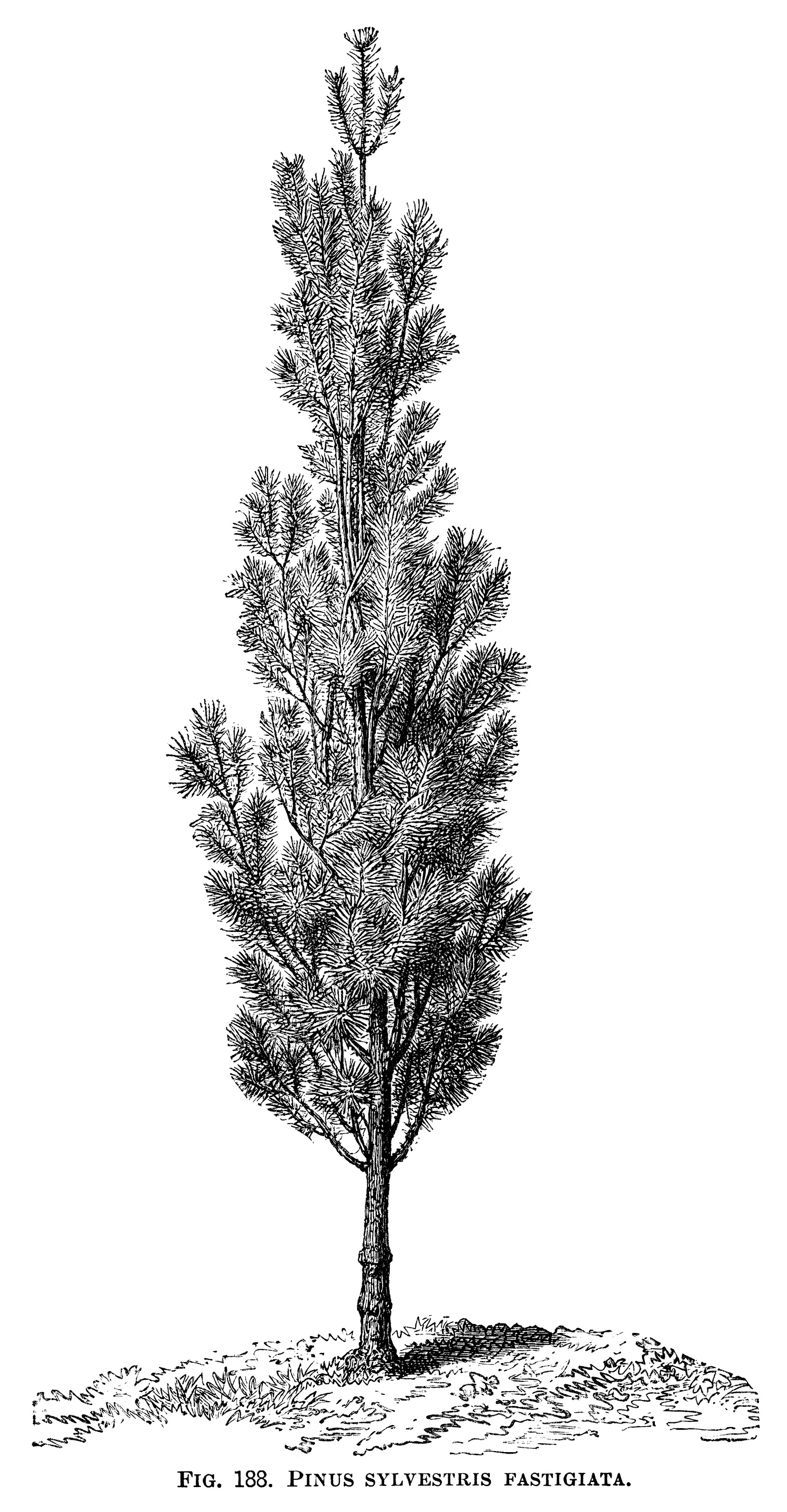 black and white graphics, botanical pine tree illustration, vintage tree clip art, pinus sylvestris fastigiata, Christmas tree engraving