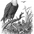 vintage eagle clip art, black and white graphics, eagle illustration, printable bird illustration, eagle and nest, baby birds in nest clipart