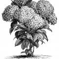 Hydrangea Hortensis, hydrangea flower, black and white graphics, vintage flower illustration, printable floral image