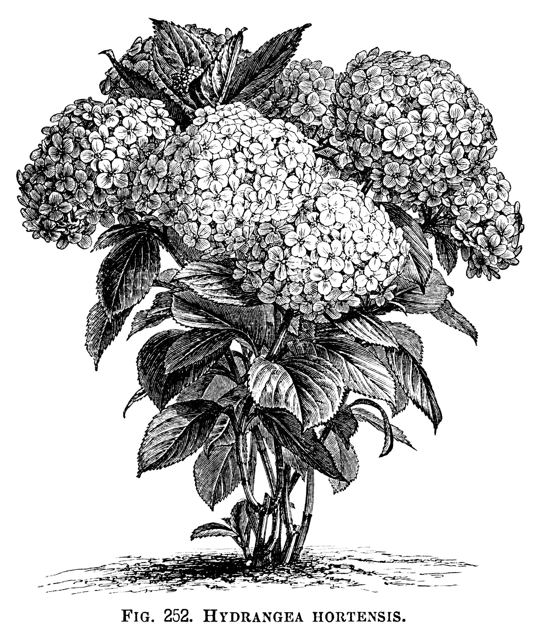 Hydrangea Hortensis, hydrangea flower, black and white graphics, vintage flower illustration, printable floral image
