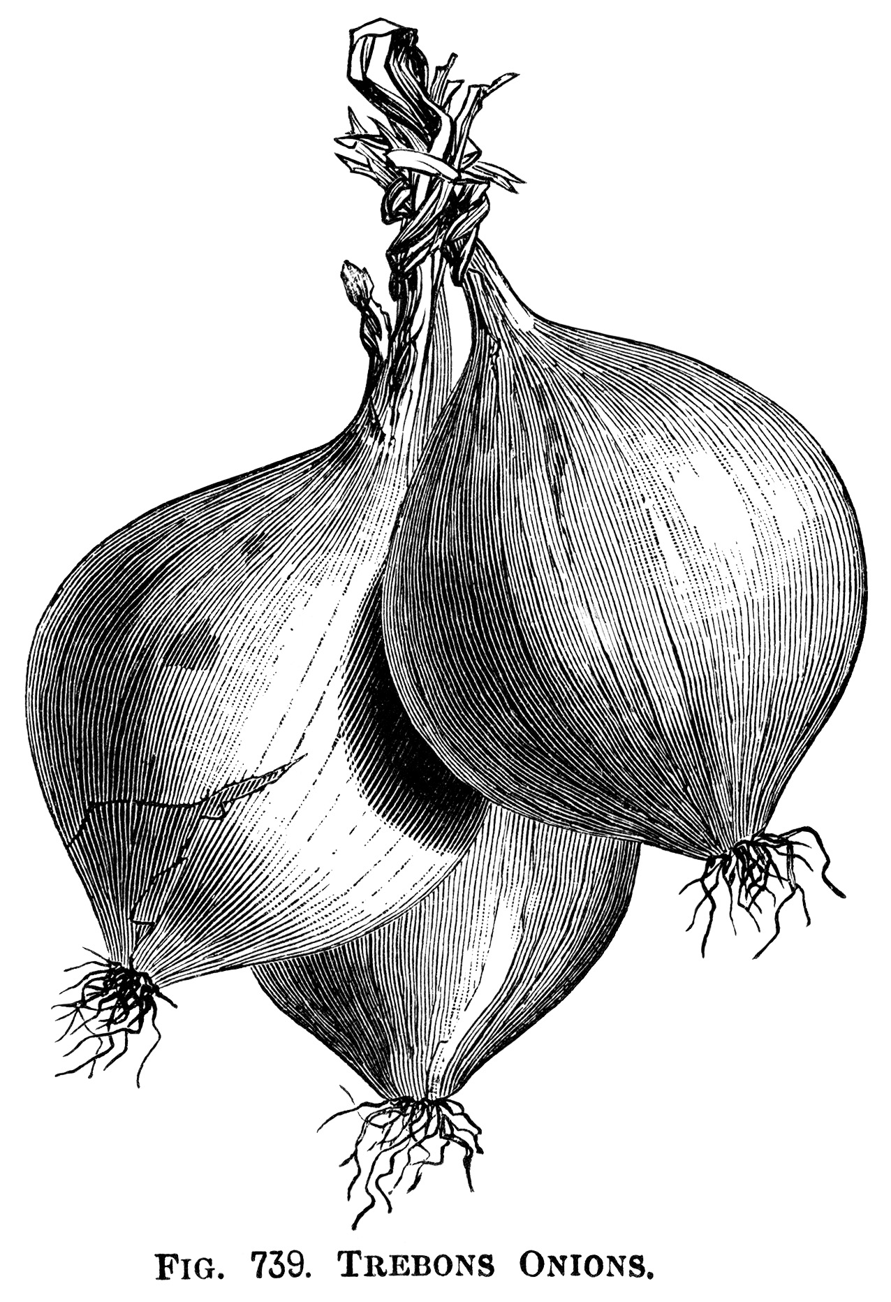 Free Onion Clipart Black And White, Download Free Clip Art, Free Clip Art  on Clipart Library