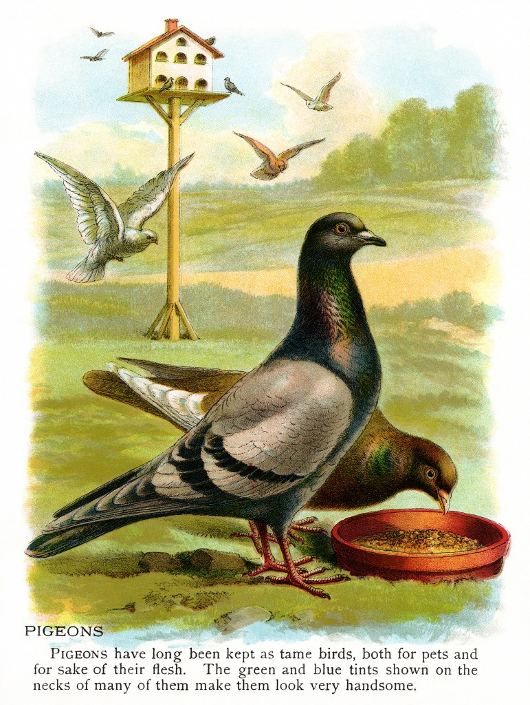 Pigeon illustration - photo#47