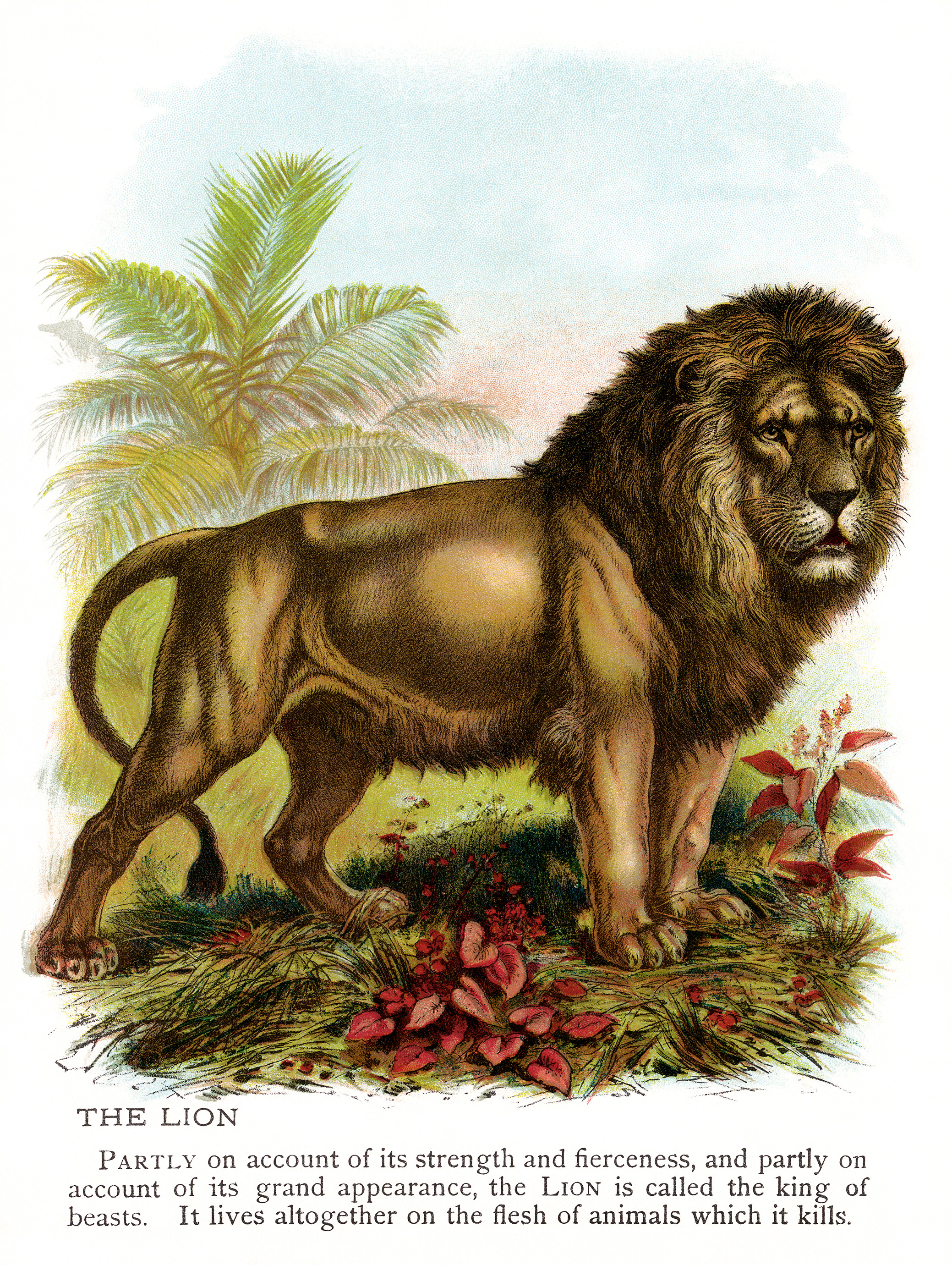 vintage lion clip art, lion illustration, animal printable picture, antique color lion image