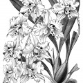 Odontoglossum Crispum, orchid clip art, black and white graphics, vintage flower illustration, printable floral image