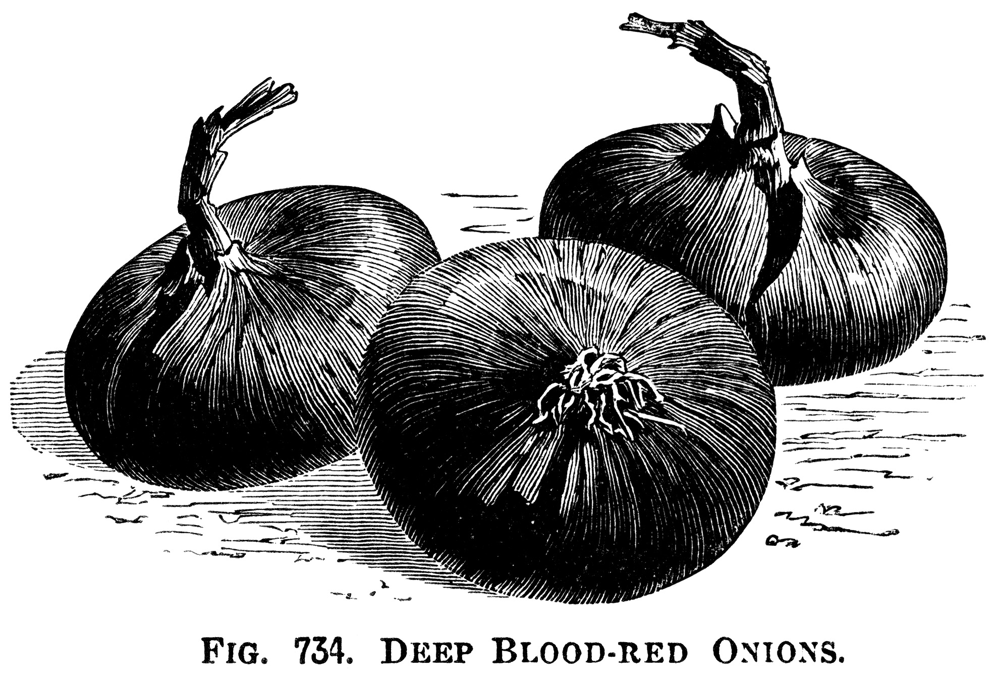 Three Varieties Of Onions Old Design Shop Blog