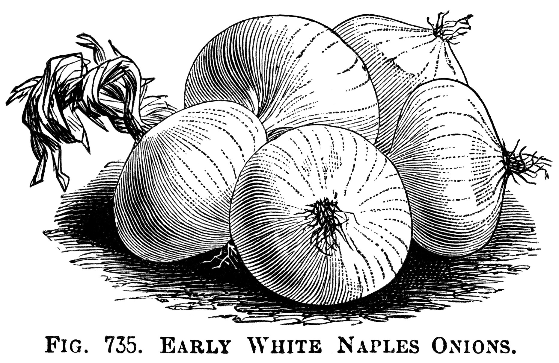 Delightful ... Black And White Clipart, Onion Illustration, Printable Vegetable  Graphics, Vintage Garden Clip Art ...