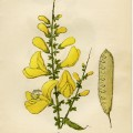 broom flower, cytisus scoparius, yellow flower printable, vintage flower clip art, floral botanical illustration