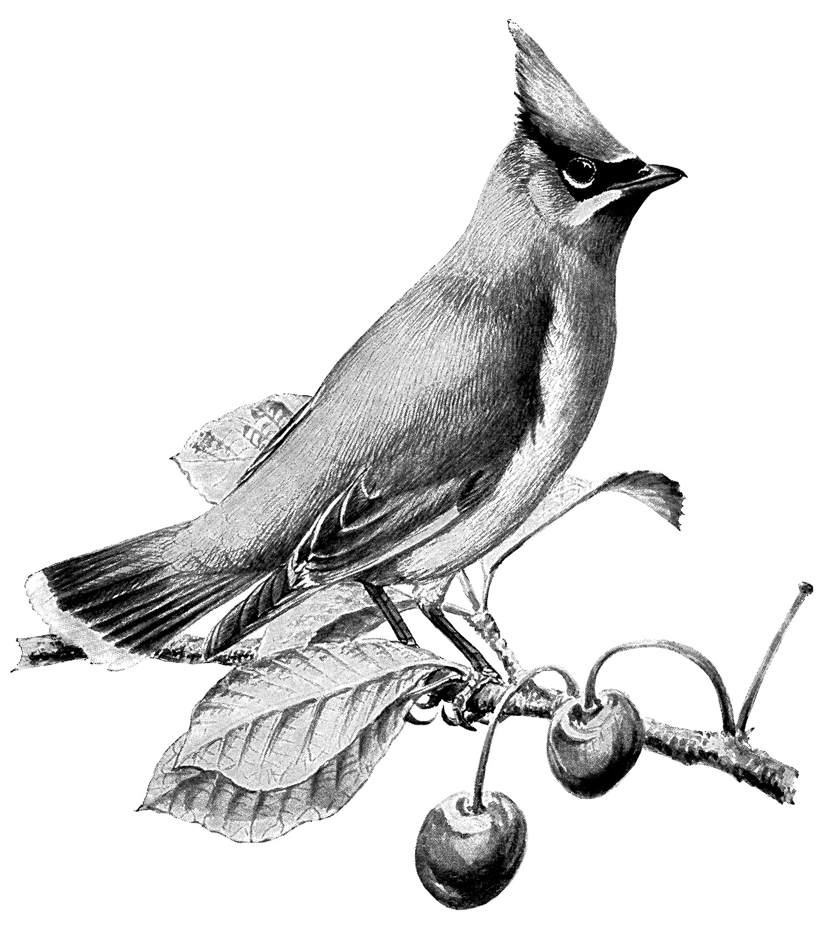 vintage bird clip art, cedar waxwing, black and white graphics, printable bird illustration, bird on cherry branch, Louis Agassiz Fuertes