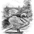 swans at the part, vintage swan clip art, black and white illustration, vintage bird printable, nature park scene