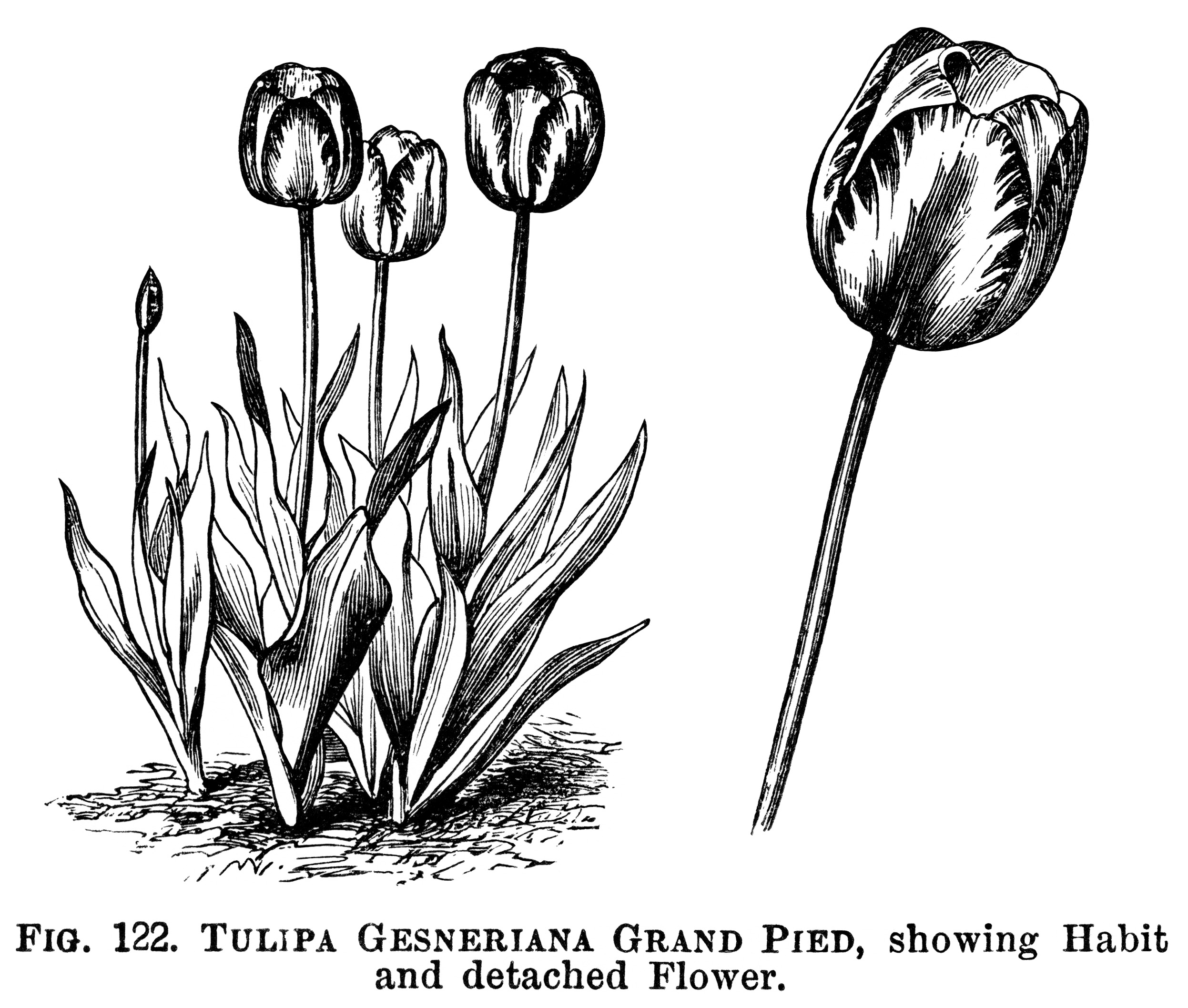 tulip clipart, black and white graphics, botanical flower engraving, vintage floral illustration, botanical garden clip art, tulipa gesneriana