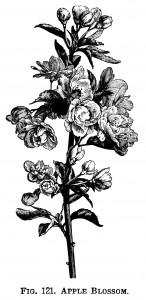 apple blossom clip art, flowering tree branch, apple flower illustration, vintage botanical engraving, black and white graphics, free printable flower