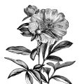 Free printable vintage peony clip art illustration