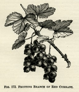 red currant illustration, vintage botanical engraving, fruiting branch of currant, vintage garden clip art, black and white graphics