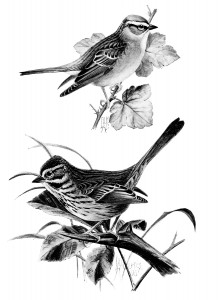 free vintage bird clip art illustration black and white