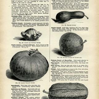 gourd illustration, vintage book page download, squash clip art, printable garden graphics, squash gourd clipart