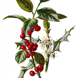 holly clip art, vintage flower illustration, Christmas flower, holly botanical drawing, Frederick Edward Hulme