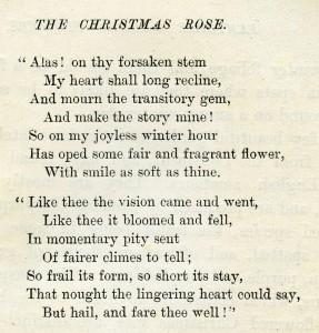 Christmas rose clip art, vintage flower illustration, Christmas flower, white rose graphic, Frederick Edward Hulme
