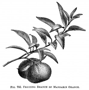 fruiting branch of  mandarin orange, vintage orange clip art, black and white graphics, oranges and leaves, botanical fruit image