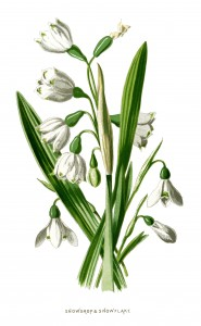 snowdrop and snowflake, floral clip art, white flower illustration, vintage flower graphics, Frederick Edward Hulme