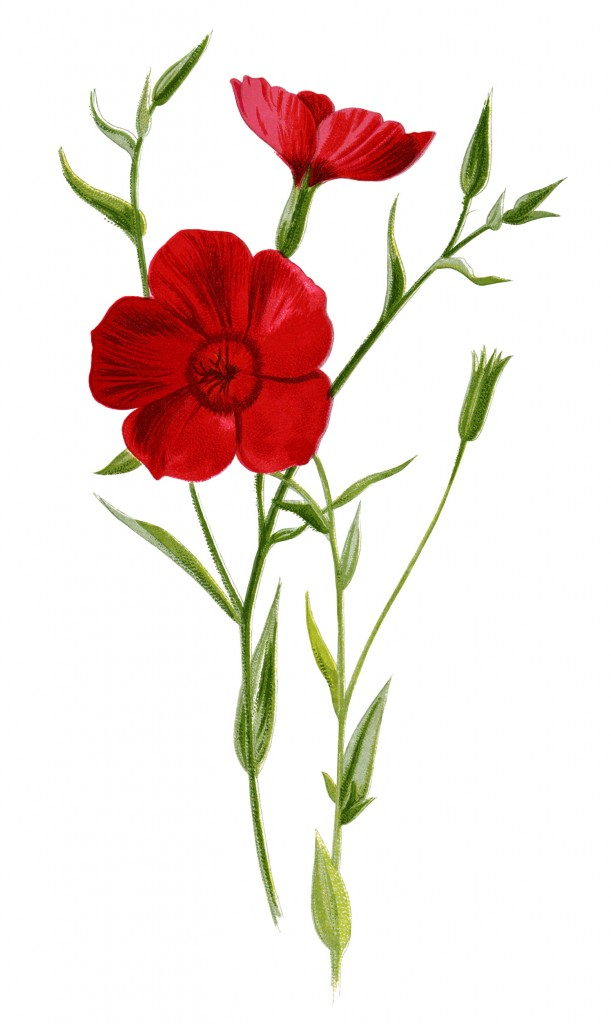 Crimson Flax Floral Illustration - Old Design Shop Blog