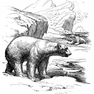 Polar Bear Engraving