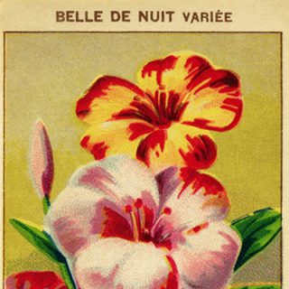 free vintage clip art French seed label belle de nuit
