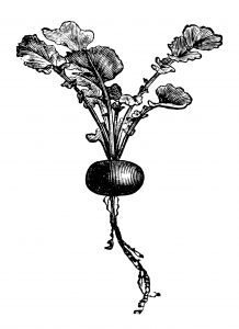 radish clip art, early rose globe radish, vintage garden graphics, vegetable clip art, black and white clip art
