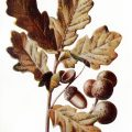 oak tree clip art, fall colored leaves, oak leaves acorns, botanical graphics, vintage nature clip art