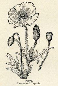 Free vintage poppy clip art illustration