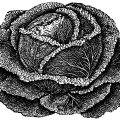 cabbage clip art, vintage garden, drumhead savoy, cabbage illustration, vegetable graphics, black and white clipart