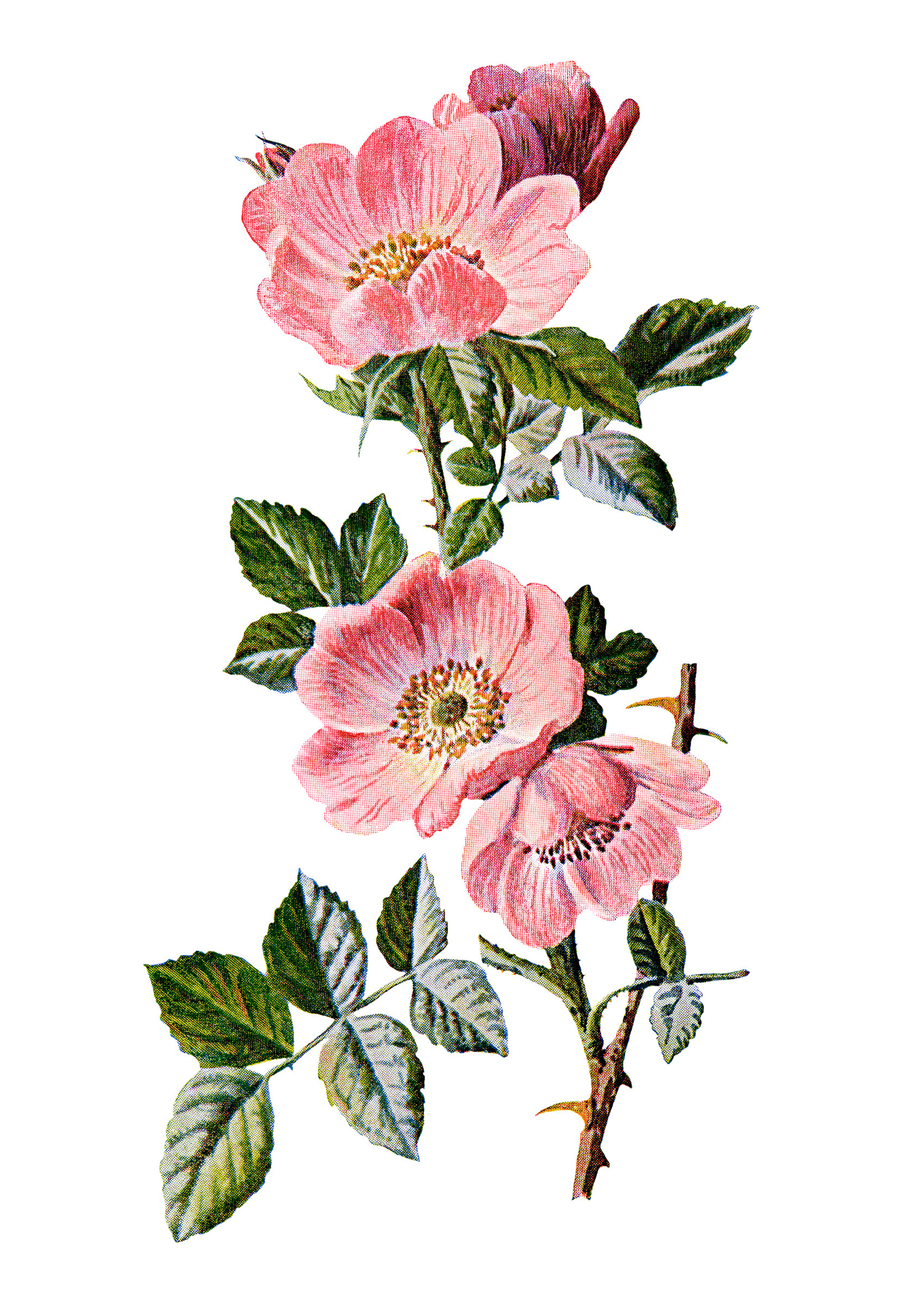 Sweet briar rose old design shop blog sweet briar vintage flower illustration wild rose image frederick mightylinksfo